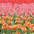 Tulipes — Photo #10781297