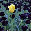 Tulipes — Photo #10821231