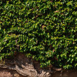 Ivy at wall — Stock Photo #11536868