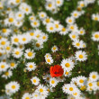 Daisies and poppy — Stock Photo #11536897