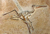 Pterodactylus Elegans Fossil — Stock Photo
