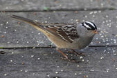 Foraging White-crowned Sparrow — Stock Photo