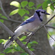 Blue Jay in a Tree - Stock Photo