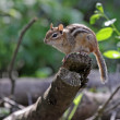 Stock Photo: Perched Chipmunk