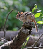 Perched Chipmunk — Stock Photo