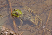 Northern Green Frog — Stock Photo