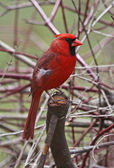 Northern Cardinal Profile — Stock Photo