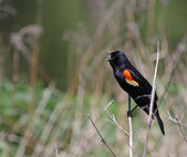 Singing Red-winged Blackbird — Stock Photo