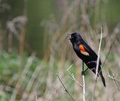 Singing Red-winged Blackbird — Stock Photo