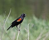 Red-winged Blackbird Singing — Stock Photo