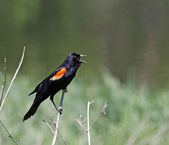 Red-winged Blackbird Screeching — Stock Photo