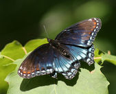 Red-spotted Purple Butterfly — Zdjęcie stockowe