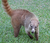 Coatimundi — Stock Photo