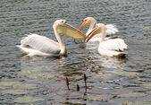 Three large white Pelicans playing in Dhaka Zoological garden — Stock Photo