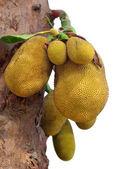Jackfruits in tree — Stock Photo