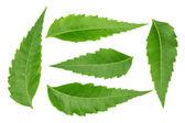 Medicinal neem leaves — Stock Photo
