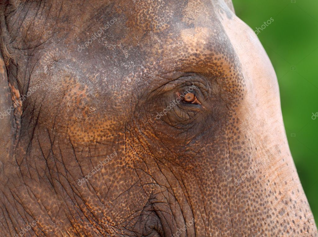 Portrait of an Asian elephant — Stock Photo #11915657
