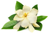 Gardenia or Gondhoraj flower of Southern Asia — ストック写真