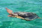 Wielki żółw pod wodą w morzu karibic — Zdjęcie stockowe