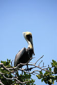Pelican sits on the branch of the tree — Stock Photo