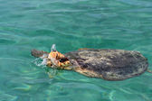 Karibic 海の水の下で大きな亀 — ストック写真