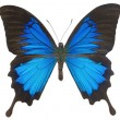 Blue Ulysses Butterfly - Stock Photo