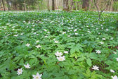 Wood anemone. — Stock Photo