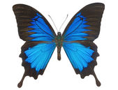 Blue Ulysses Butterfly — Stock Photo