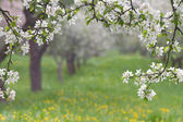 Blooming apple trees. — Stock Photo