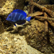 Blue Tang - Stock Photo