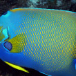 Queen Angelfish — Stock Photo #11248410
