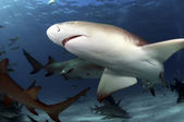 Lemon Sharks — Stock Photo