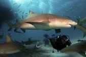 Citroen haaien — Stockfoto