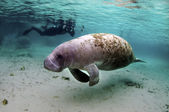 Manatee — Stock Photo