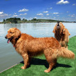 Two golden retriever by water — Stock Photo