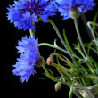 Royalty-Free Stock Photo: Beautiful cornflowers