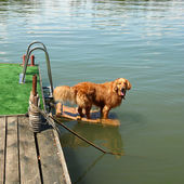 Golden retriever por agua — Foto de Stock