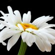 Beautiful daisy flower - Stock Photo