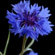 Beautiful cornflower — Photo