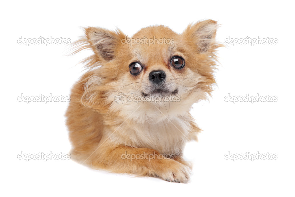 Brown long haired chihuahua in front of a white background — Stock Photo #11502069