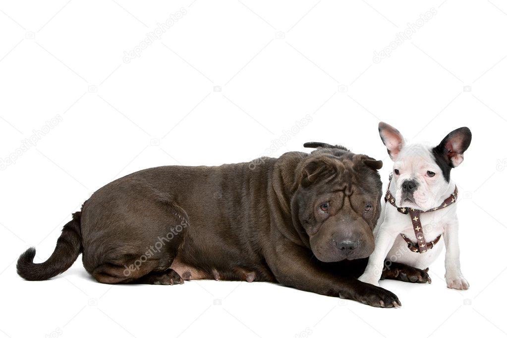 Shar-pei y un cachorro de bulldog francés - Imagen de stock
