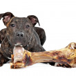 American Staffordshire terrier with a big bone — Stock Photo #11863890