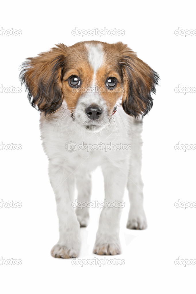 Mixed breed puppy. Beagle and Dutch Kooiker hound mix.  Stock Photo #11863750