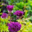 Purple Allium Flower — Stock Photo #11136381