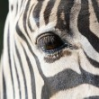 One Zebra eye — Stock Photo