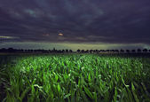 Night cornfield — Stock Photo