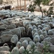 Sheared sheep - Stock Photo