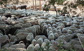 Sheared sheep — Stock Photo
