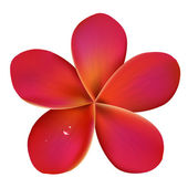 水の滴をピンク プルメリア — ストックベクタ