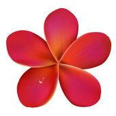 Frangipanier rose avec des gouttes d'eau — Vecteur